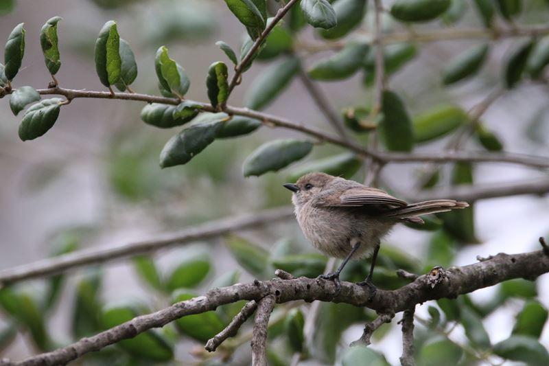 Bush Tit Bird