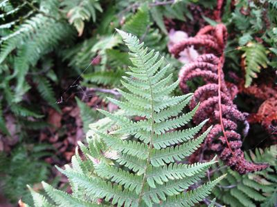 Dryopteris arguta (coastal wood fern)