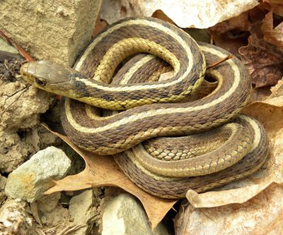 two-striped garter snake (Thamnophis hammondii)