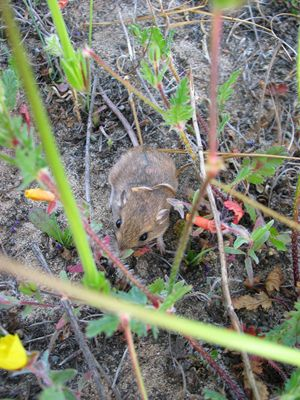 little pocket mouse (Perognathus longimembris)